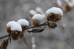 Snow on Burdock (jaybirding) Tags: leicavlux114 maine me outdoor scenery stormer yarmouth us