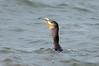 Down the hatch (martytdx) Tags: capemay nj birding birds migrationfall2016 cormorant doublecrestedcormorant phalacrocoraxauritus phalacrocorax anhingidae fishing feedingfrenzy thatsabigfish