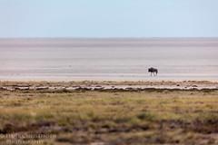 Blue Wildebeest On The Etosha Pan (Hank Christensen) Tags: africa dry natural bluewildebeest namibia nationalpark outdoor etoshapan wildlife etoshanationalpark wildebeest saltflats nature animals isolated outside isolation saltpan