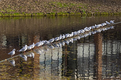 2016-11-17 13-49-27 - PB220084 2048 (Dirk Buse) Tags: bremen deutschland germany natur nature outdoor olympus omd em1 mft m43 zuiko 40150 4015028 pro möwen reihe