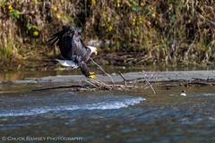 Skagit River Eagles-7 (Chuck Ramsey) Tags: birds eagle skagitriver washington