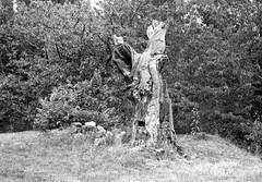 Hunter's tree (kleinbatavia) Tags: blackandwhite bw france rodinal largeformat ardeche 5x7 fomapan 13x18 epsonv700