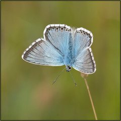 Chalkhill Blue (image 2 of 4) (Full Moon Images) Tags: blue macro nature butterfly insect wildlife reserve national chalkhill nnr barnack hillsandholes