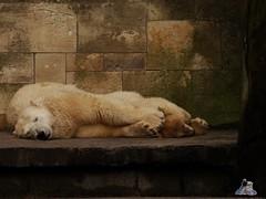 Eisbr Fiete im Zoo Rostock 15.08.2015 Teil 3 072 (Fruehlingsstern) Tags: zoo polarbear rostock vilma eisbr fiete dahlien zoorostock sonydsch50