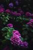 Endless Summer I (Joana Rieck) Tags: blue summer flower canon garden dark bed august hydrangea endless violett