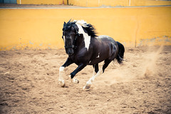 Horse power (modesrodriguez) Tags: horse white black beautiful animal speed air running galope