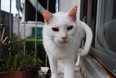 Branquinho (GuiLauter) Tags: gatos felinos gatobranco