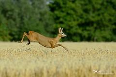 Flying Roe Deer (Capreolus capreolus) (fokusnatur) Tags: animal landwirtschaft deer buck roe reh sprung bock springen capreolus weizen weizenfeld rehbock kulturlandschaft