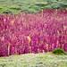 Quinoa landscapes