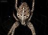 Kreuzspinne (Araneus diadematus) (Wolfgang Dibiasi) Tags: europa wolfgang spinnen kreuzspinne araneus diadematus gartenkreuzspinne dibiasi experte giftige naturfotograf gifttiere