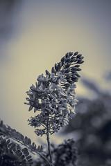 IMG_0776-34 (@fisiotur) Tags: flowers blackandwhite plants flores minasgerais contrast canon plantas contraste pretoebranco jardins luzesombra canon100mm jardinagem