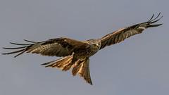 Masters of the air (davidrhall1234) Tags: bird birds raptor birdsofprey redkite harewood rspb birdsofbritain