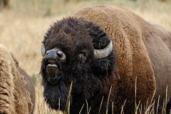 Flehmen behaviour in an excited Bison Bull.....2 (Alan Vernon.) Tags: male female fur mammal cow buffalo bullock coat grand bull ox upper organ american valley lip wyoming plains tetons bison bovine reproduction scents grasslands curling rut smelling pheromones behaviour inhaling flehmen vomeronasal