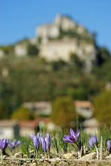 Crocus Sativus - L or rouge des 3 rivires (crocus_sativus84_or3r) Tags: crocus provence safran saffron ventoux sativus pistils stigmate entrechaux or3r