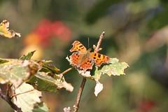 Comma ~ Polygonia c-album ~ Wells Wood (1) (Rowettia) Tags: uk norfolk butterflies wells lepidoptera comma polygoniacalbum