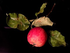 When the apple is ripe it will fall (Irish Proverb) (RenateEurope) Tags: autumn red apple fruits healthy tasty organic catchycolor 2015 iphoneography renateeurope ipadair2