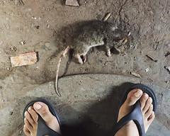 Dulce Et Decorum Est (Mayank Austen Soofi) Tags: mouse death rodent rat delhi owen et wilfred dulce est walla decorum