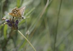 L'Hsprie des Sanguisorbes - Spialia sertoriusi -  (michel lherm) Tags: papillons lpidoptres spialiasertorius rhopalocres hspriedessanguisorbes