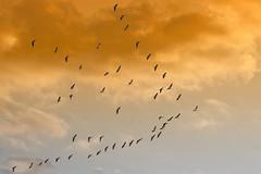 last flight of the season (LastBestPlace) Tags: wisconsin migration sandhillcrane vformation waukeshacounty janekaufman