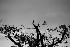 202 av 365 - Dyster (Yvonne L Sweden) Tags: blackandwhite tree monochrome birds blw gloomy sweden dreary bleak trd trosa fglar svartvitt dyster trdtoppar 365foton 3652015