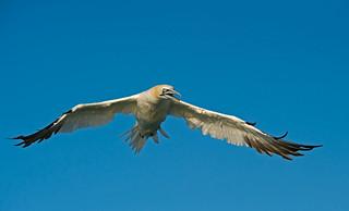 Gannet: Sula bassana (Explored)