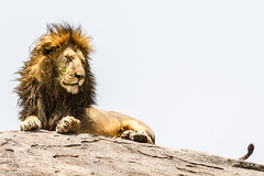 201503041200_TZ_Mara_Serengeti National Park.jpg (matthewbelk) Tags: africa tanzania events lion safari mara serengeti tz kopje 2015