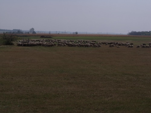 Flock of sheep, Cece, Hungary