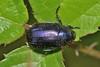 Anomala sp. (Jesús Tizón Taracido) Tags: coleoptera rutelinae anomala rutelidae polyphaga scarabaeoidea scarabaeiformia anomalini