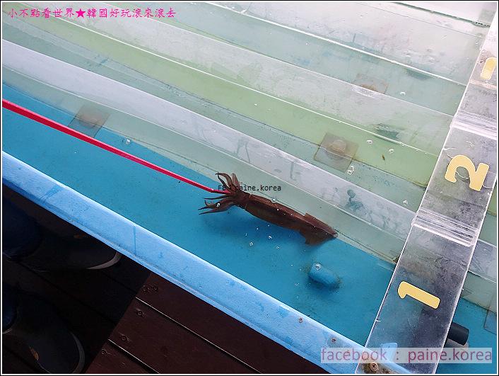風間浦村 下風呂温泉 賽烏賊 賽魷魚 (9).JPG