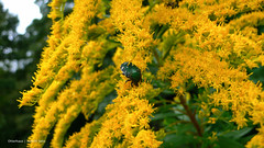 Ether 024 014 (Otterhaus) Tags: japan tokyo beetle flowerchafer etherseries137 ether024