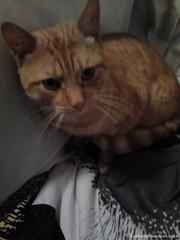 Fri, Dec 11th, 2015 Found Male Cat - Kylemore, Dublin 12 (Lost and Found Pets Ireland) Tags: dublin cat found december kylemore 2015 foundcatkylemoredublin