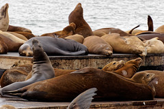 Lwy morskie na Pier 39 | Sea lions on Pier 39