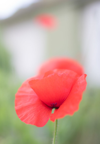 "Poppy • <a style=""font-size:0.8em;"" href=""http://www.flickr.com/photos/52083013@N03/24076178515/"" target=""_blank"">View on Flickr</a>"