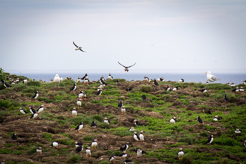 Puffins at Elliston 19