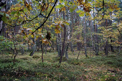 Blueberry Fields (caprilemon) Tags: ruegen rügen island germany forest woods tree