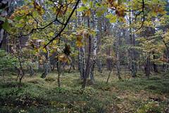 Blueberry Fields (caprilemon) Tags: ruegen rgen island germany forest woods tree