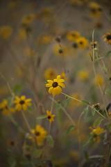 Flower Field (gpa.1001) Tags: lonepine california owensvalley easternsierras flowers inyocounty