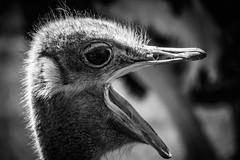 IMG_1389 (esevelez) Tags: animales animal animals safari penagos cantabria espaa blackandwhite blackwhite bn blancoynegro avestruz ostrich