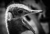 IMG_1389 (esevelez) Tags: animales animal animals safari penagos cantabria espaã±a blackandwhite blackwhite bn blancoynegro avestruz ostrich
