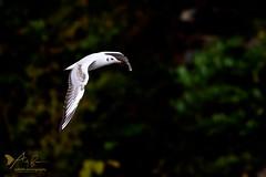 Black-headed Gull (ABPhotosUK) Tags: animals birds blackheadedgull canon chroicocephalusridibundus devon ef100400mmisii eos7dmarkii effects gulls inflight laridae lopwelldamnaturereserve lowkey swlakestrust wildlife