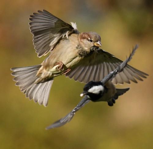 Passer domesticus & Parus montanus