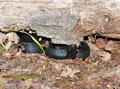 Vipera berus nikolskii (Evgeny Kotelevsky) Tags: vipera berus nikolskii snake viperidae herpetology