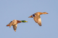 Mallard Pair (tresed47) Tags: 2016 201610oct 20161018bombayhookbirds birds bombayhook canon7d content delaware ducks folder mallard peterscamera petersphotos places takenby us
