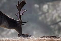 Is this love / Part 3 (Saarblitz) Tags: isthislovepart3 damwild outdoor natur nebel stimmung atmosphre tier liebe bume heiter wildlife