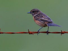 female stonechat (davy ren2) Tags: rusty tones
