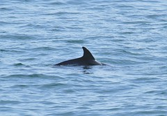 Bottlenose Dolphin (andyt1701) Tags: jersey