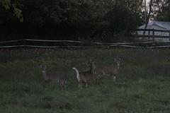 _MG_2051 (thinktank8326) Tags: deer whitetaileddeer fawn doe babyanimal babydeer