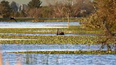 Cormorant and Swan (blachswan) Tags: winterswamp mullahwallahwetlands wetland wetlands ballarat victoria australia lucas cormorant blackcormorant birdinflight blackswan spring