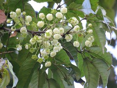 Rubus nebulosus 9 (barryaceae) Tags: boorganna nature reserve australianrainforestplants australian rainforest plants species new south wales australia ausrfps ausvine ausvines rosaceae