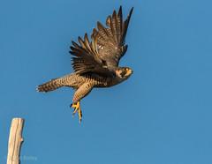 Peregrine Falcon (bbatley) Tags: